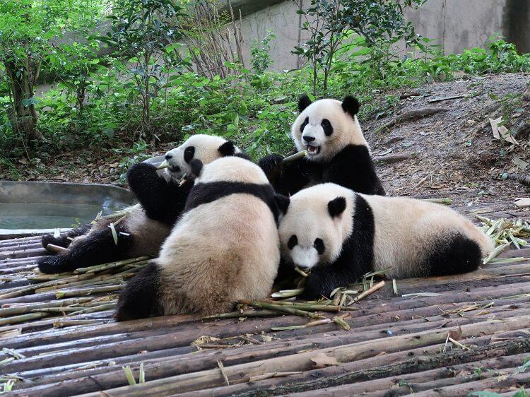 Young pandas eating bamboo